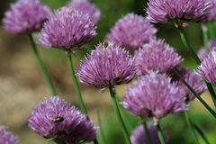 Chive flower head Royalty Free Stock Photo