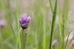 Chive Flower Stock Photography