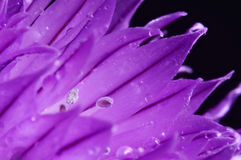 Chive flower with water drops Royalty Free Stock Photography