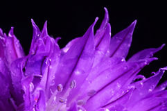 Chive flower with water drops Stock Images