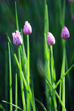 Chive Flowers. A closeup shot of the herb, chives, with lavender flowers Stock Photo