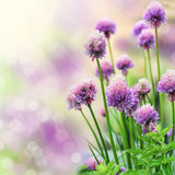 Chive flowers. Blooming chive herb on beautiful bokeh background. Very shallow DOF stock image