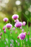 Chive Flowers. Blooming in an herb garden royalty free stock photo