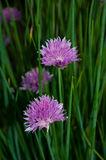 Chive flowers. In a garden stock image