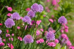 Chive Flowers. Purple Chive (the herb) flowers in the garden with dianthus fading into the background royalty free stock photography