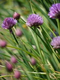 Chive flowers Royalty Free Stock Photos