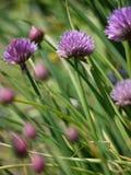 Chive flowers. (Allium schoenoprasum) in an Irish vegetable garden Royalty Free Stock Photos