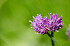Chive Flowers Stock Images