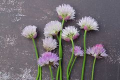 Chive flowers on black background. Chive flower on black background Royalty Free Stock Photo