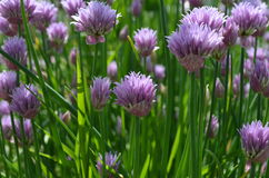 Chive flowers. Chive flowers in the darden Stock Photo