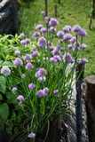 Chive flowers in a garden Stock Photo