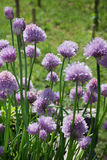 Chive flowers in a garden Royalty Free Stock Photo