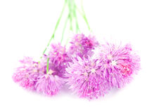 Chive flowers Royalty Free Stock Image