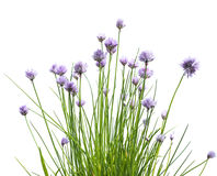 Chive Flowers on White Background. Blossoms of chive plant (Allium schoenoprasum Royalty Free Stock Photography