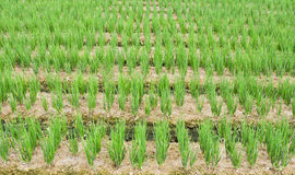 Chive Garden. Rows of green chives in a large vegetable garden Stock Photo