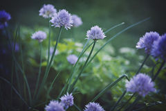 Chive Garden Royalty Free Stock Photography
