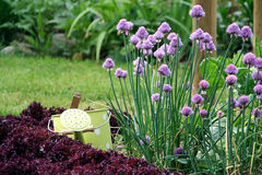 Chive and gardening. Chive herb and salad on the vegetables bed with details of grass in the background. Detail from herbs bed on the garden royalty free stock images