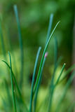 Chive growing on Home Orchard. Asian Cuisine. Natural macro shot, chieve closeup royalty free stock images
