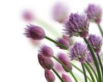 Chive Herb Flowers. On White Background stock photo