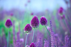 Chive herb flowers - Allium sphaerocephalon on beautiful  backgr Stock Image