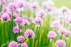 Chive herb flowers on beautiful bokeh background Stock Photo