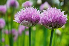 Chive herb flowers Stock Photography