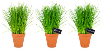 Chive herbs Royalty Free Stock Photos