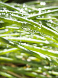 Chive Leaves with Dew Drops Stock Images