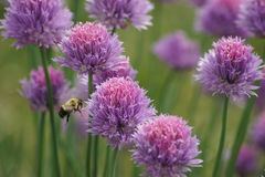 Chive loving Bumble Bee. Bumble bee in flight towards chives royalty free stock photo