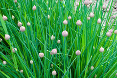 Chive onion. With buds in the garden (Allium schoenoprasum royalty free stock images