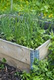 Chive, onion, leek and garlic growing in the vegetable garden with raised beds. Protected by the net from peageons stock images