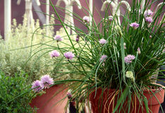 Chive and other herbs. Chive and otheter herbs on the terrace potted in the ceramics pot for culinary uses Royalty Free Stock Photography