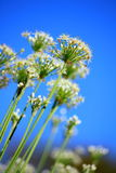 Chive's flower. With blue sky,close up shot Stock Photo