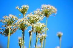 Chive's flower. With blue sky, close up shot Stock Photography