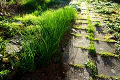 Chive and sidewalk - spring royalty free stock photos
