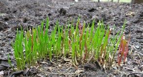 Chives растя весной Стоковые Фото