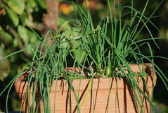 Chives. A terracotta trough containing growing chives in a garden in Kent, England Royalty Free Stock Images