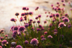 Chives. Chive flowers in the evening light, summer time in Finland Stock Photo