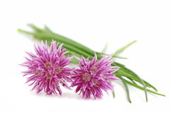 Chives. With flower on a white background Royalty Free Stock Image