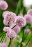 Chives Royalty Free Stock Image