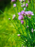 chives imagens de stock royalty free