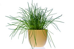 Chives Stock Images