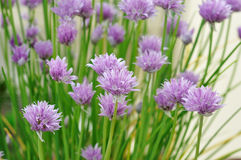 chives Fotos de Stock