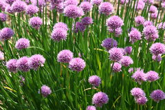 Chives. Field of Chives Royalty Free Stock Photo