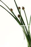 Chives. In glass vase with white background Stock Image