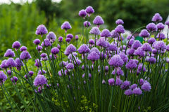 chives Immagine Stock
