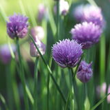 Chives (Allium schoenoprasum). Flowering chives beamed with light, sunset and bokeh. Taken in Sweden 2008 Royalty Free Stock Photo