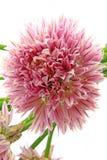 Chives (Allium schoenoprasum) Royalty Free Stock Photography