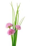 Chives (Allium schoenoprasum) Royalty Free Stock Photography