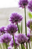Chives (Allium schoenoprasum) pink flowers close up. Royalty Free Stock Image